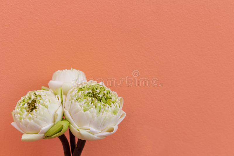 Design for three lotus flower green buds isolated on color background stock image
