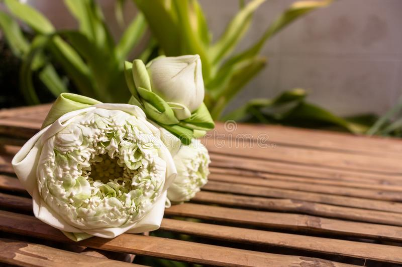 Design for three lotus flowers green buds on bamboo wood table and copy space on plant background royalty free stock photo