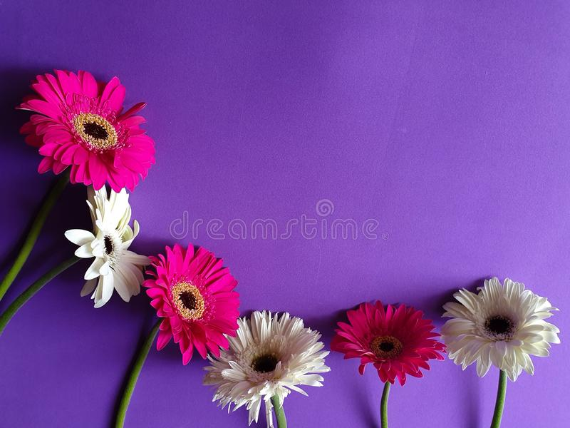 Design with white and pink gerbera flowers on the purple background. Nature, natural, gift, love, romantic, romance, anniversary, valentine, petal, asteraceae royalty free stock photo