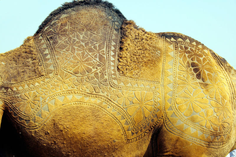 Designed camel skin. In camel festivals people decorate their camels by different ways, including making designs on their skin by colors and by different styles royalty free stock photo