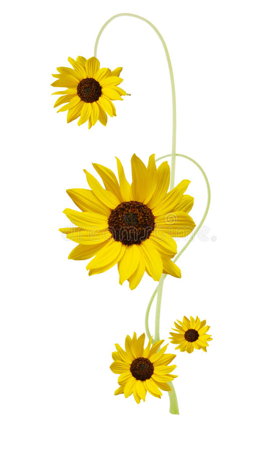Download Designed sunflower stock photo. Image of bright, closeup - 17960038