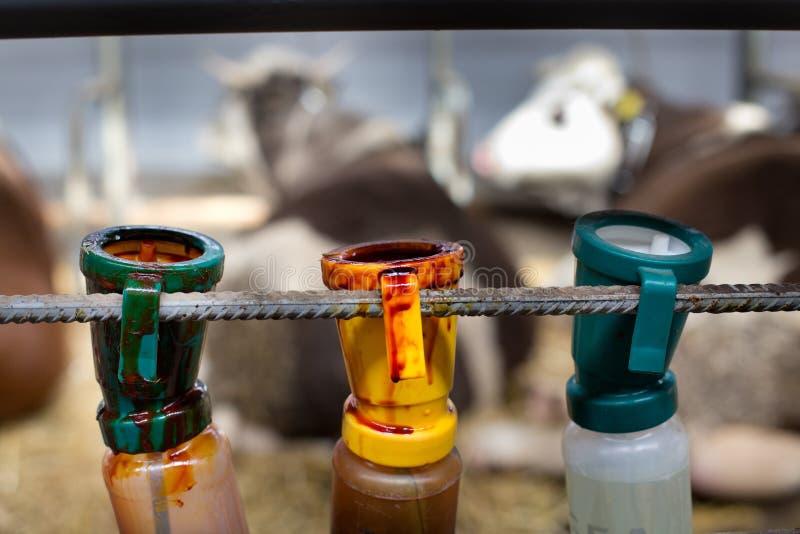 Desinfizierung von Flaschen für Kuh ` s Euter nachdem dem Melken lizenzfreies stockbild