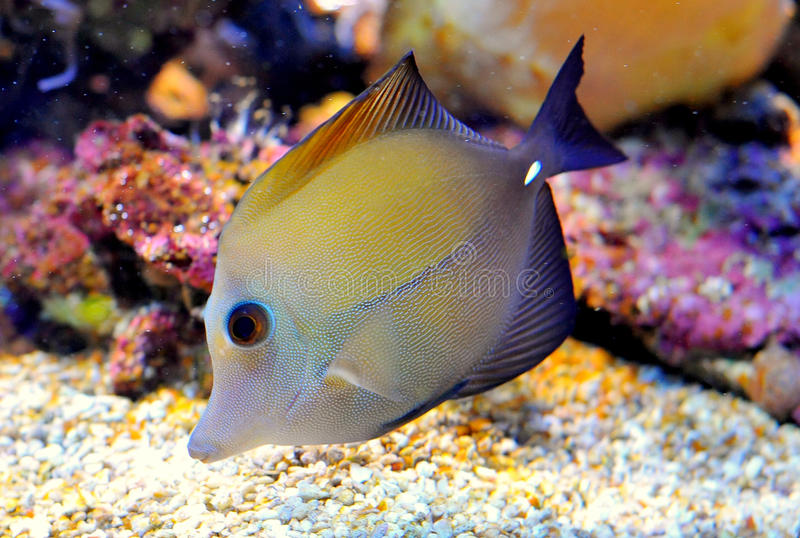 Desjardin's Sailfin or Red Sea royalty free stock image