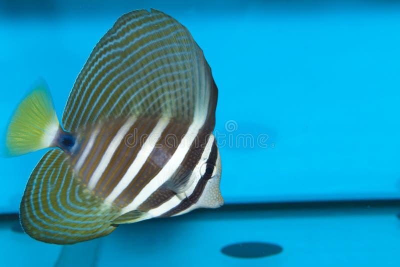 Desjardini Sailfin Tang i akvarium royaltyfri bild