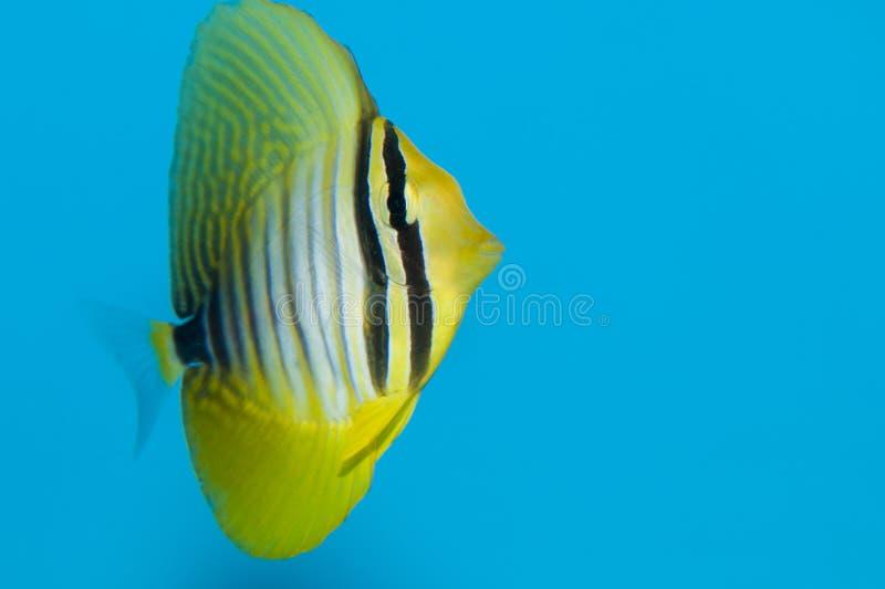 Desjardins Sailfin eller röd havsSailfin Tang arkivfoto