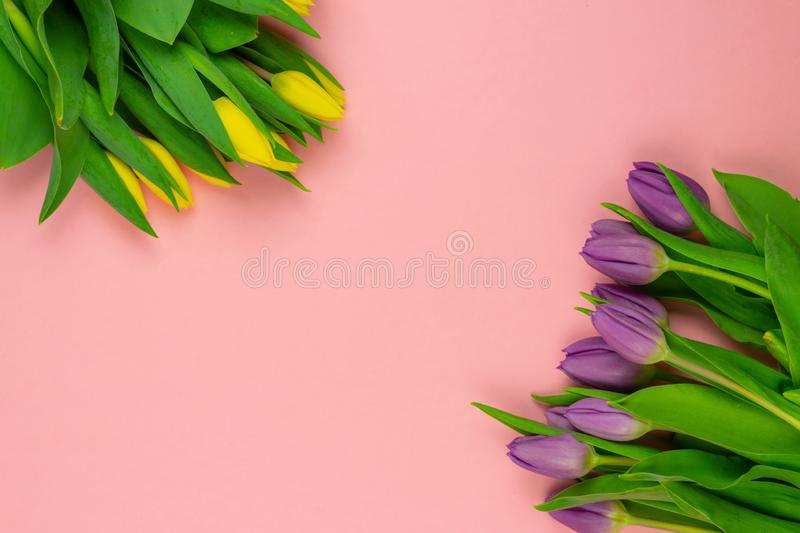 Close-up yellow and purple tulips isolated on pink background stock image