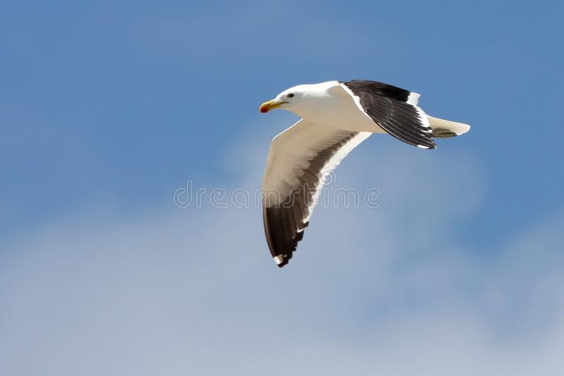 Deslizamento da gaivota imagem de stock