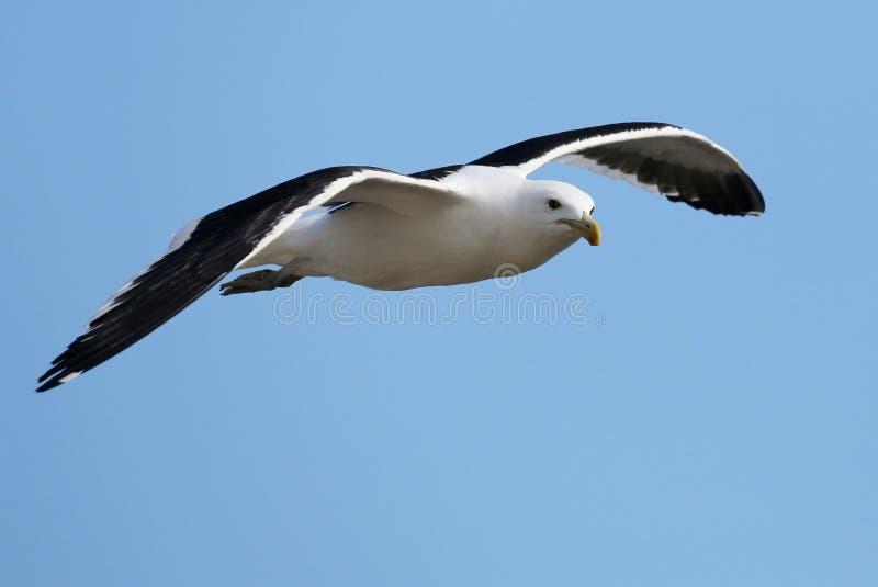 Deslizamento da gaivota fotos de stock