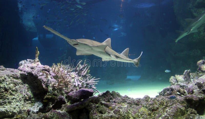 Deslizamento do Sawfish imagens de stock royalty free