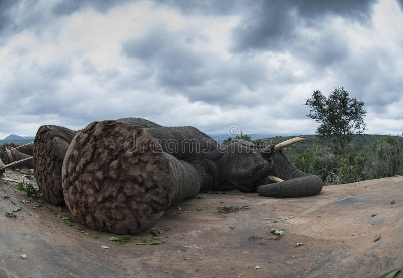 Deslumbramiento del elefante fotografía de archivo libre de regalías