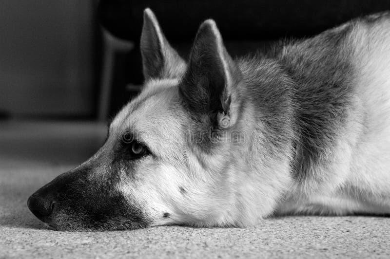 Deslumbramiento Del Perro Foto de archivo