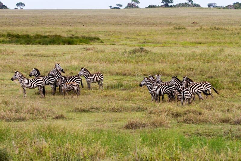 Deslumbre de cebras en el parque nacional de Serengeti imagen de archivo