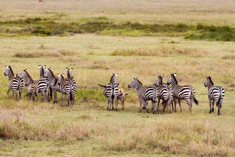 Deslumbre de cebras en el parque nacional de Serengeti imagenes de archivo