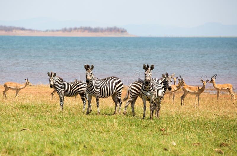 Deslumbre de cebras en los llanos enormes en Zimbabwe foto de archivo libre de regalías