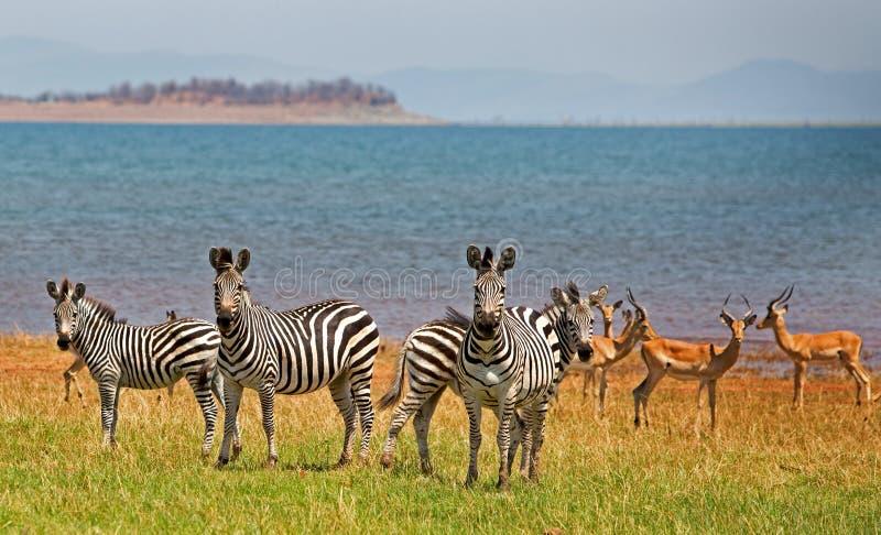 Deslumbre de las cebras (quagga del Equus) con una manada del impala en el parque nacional de Bumi foto de archivo
