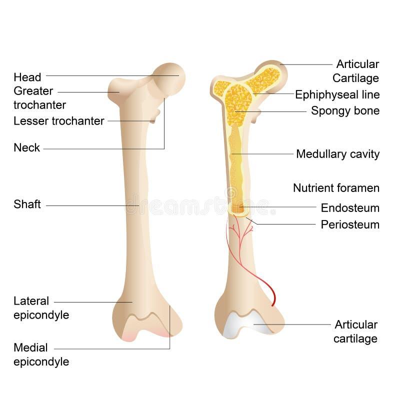 Desosse a anatomia ilustração stock