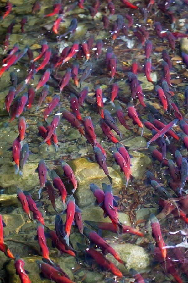 Desovar salmon de Kokanee no rio fotos de stock royalty free