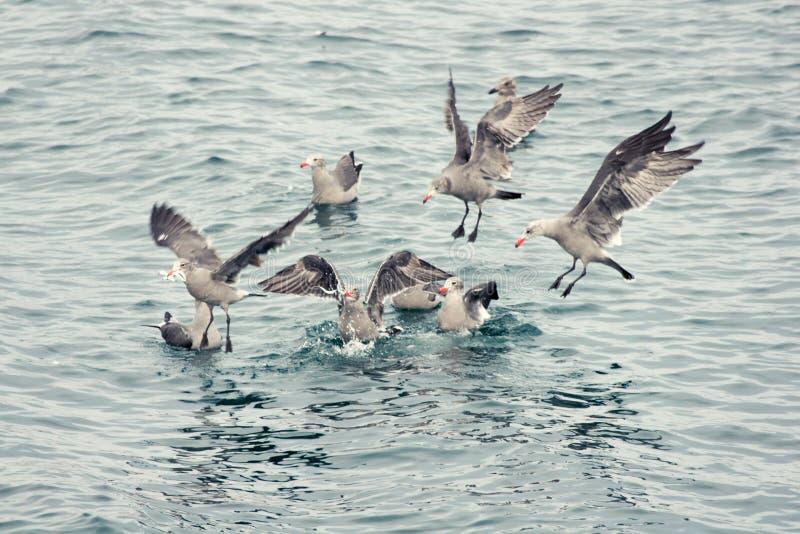 Despegue en tiempo mínimo salvaje de las gaviotas para la comida imágenes de archivo libres de regalías