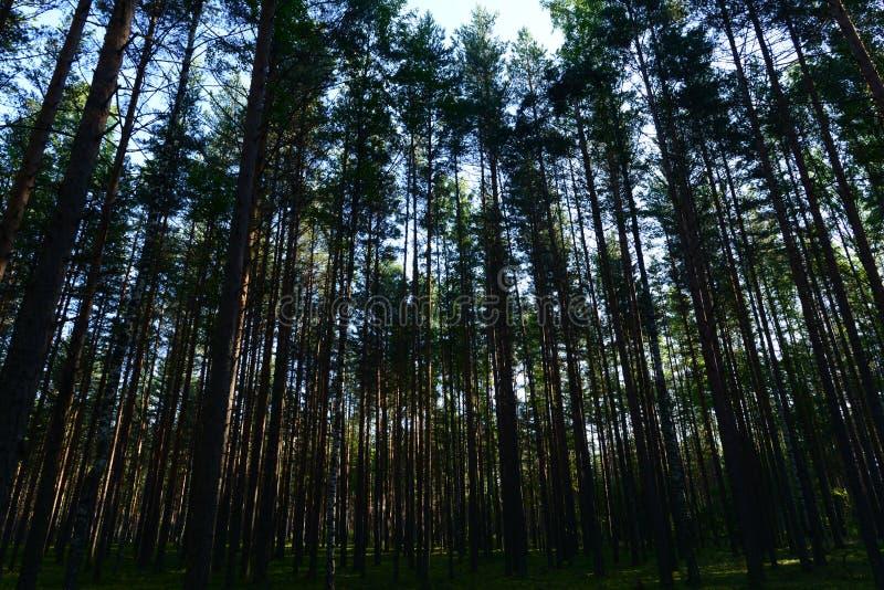 Despesas gerais coníferas da floresta dos pinhos delgados no céu na luz solar do sol da manhã fotos de stock