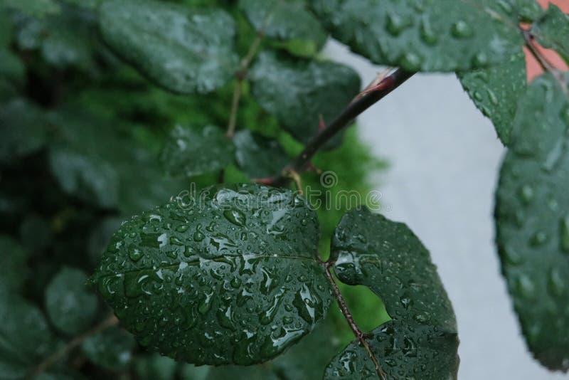 Despu?s de que los descensos del agua de lluvia en licencia verde, chispeen de gotitas en la hoja superficial Fondo natural Macro foto de archivo libre de regalías