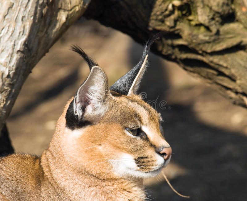 Download Desrt Lynx - Caracal Caracal Stock Image - Image of caracal, africa: 18871169
