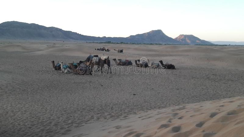Dessert camel sand morning day morroco royalty free stock photos