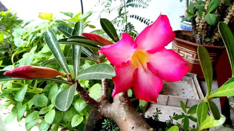 The Dessert Rose Adenium Obesum. royalty free stock images