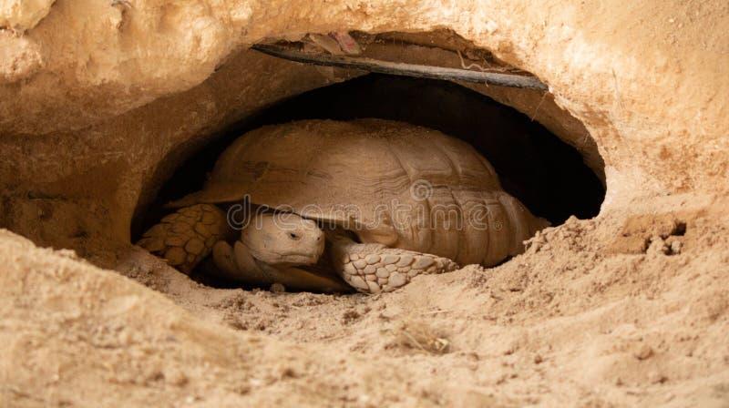 Dessert tortoise in Qatar Desert. stock image