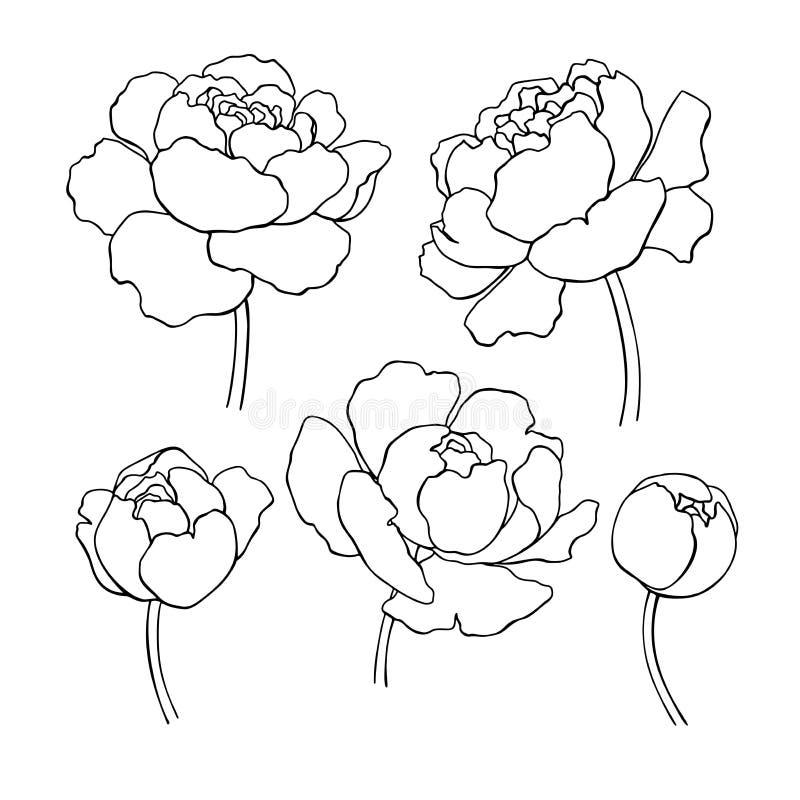 Flower Head Line Drawing : Dessin au trait pivoine ensemble tiré par la main de fleur