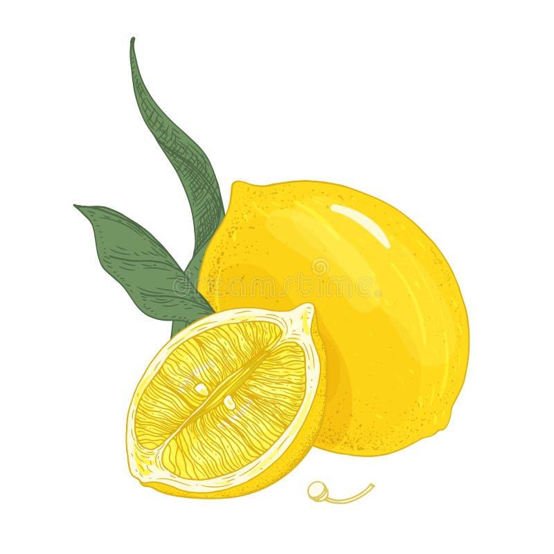 Dessin botanique coloré des citrons entiers et de coupe avec des feuilles et des graines Agrumes jaunes aigres frais tirés par la illustration stock