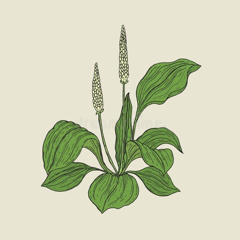 Dessin botanique détaillé de plantain avec les fleurs et les feuilles jaunes de vert Usine herbacée fleurissante tirée par la mai illustration de vecteur