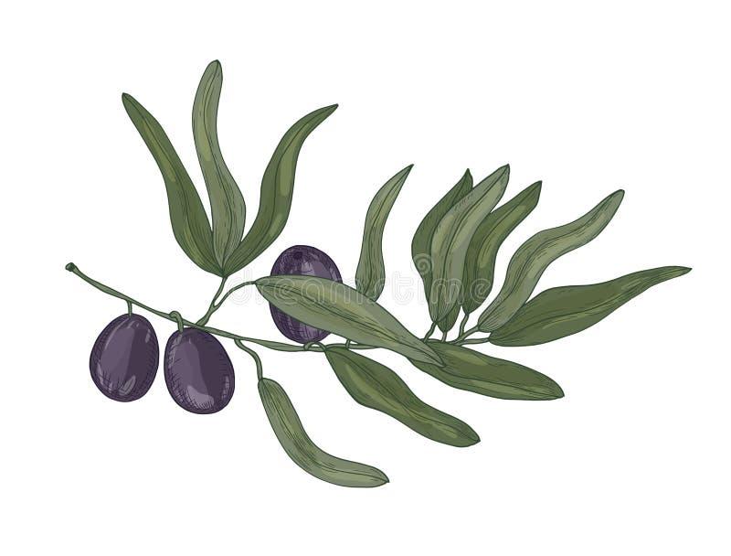 Dessin botanique de branche d'arbre d'Europaea d'olive ou d'Olea avec des feuilles et des fruits ou des drupes noirs d'isolement  illustration de vecteur