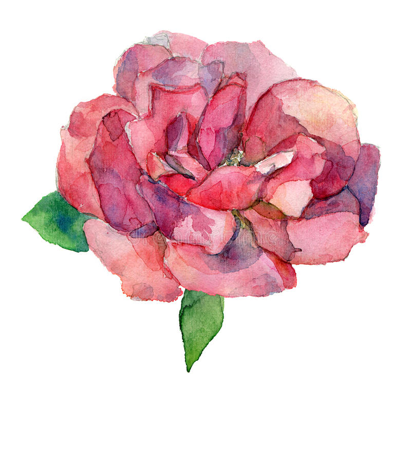 Dessin d'aquarelle de fleur de rose de rouge ou de rose illustration libre de droits