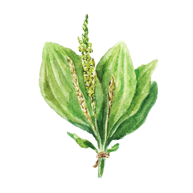Dessin d'aquarelle de plantain illustration libre de droits