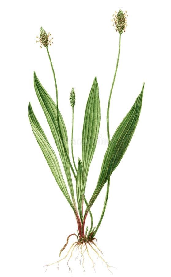 Dessin d'une usine de lanceolata de Plantago de plantain anglais illustration stock