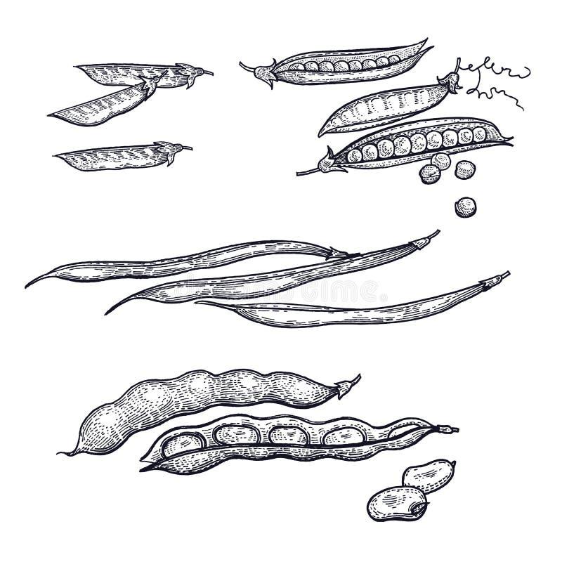 Dessin de main des haricots illustration libre de droits