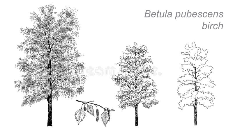 Dessin de vecteur de bouleau (pubescens de bétula) illustration libre de droits