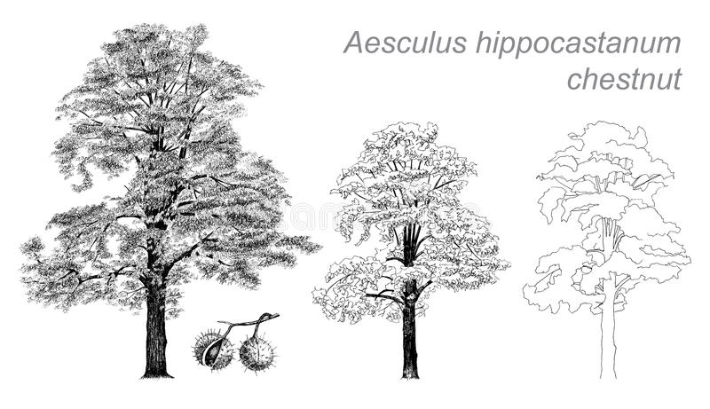 Dessin de vecteur de châtaigne (hippocastanum d'Aesculus) illustration libre de droits
