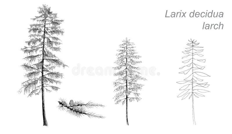 Dessin de vecteur de mélèze (pubescens de bétula) illustration de vecteur