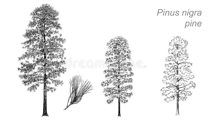 Dessin de vecteur de pin (Pinus nigra) illustration libre de droits
