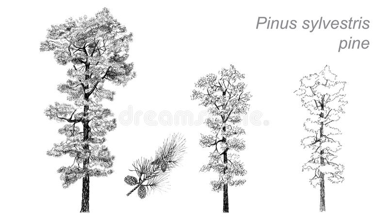 Dessin de vecteur de pin (sylvestris de pinus) illustration stock