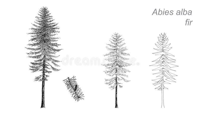 Dessin de vecteur de sapin (Abies alba) illustration stock