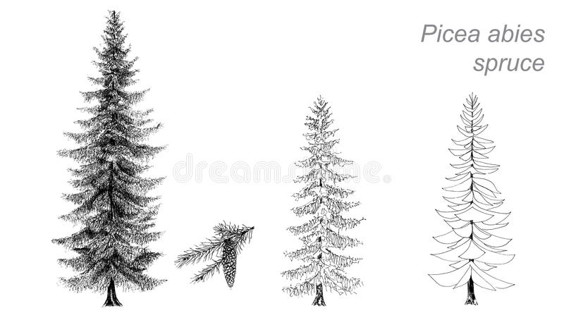 Dessin de vecteur de sapin (picéa abies) illustration libre de droits