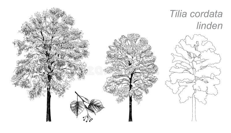 Dessin de vecteur de tilleul (cordata de Tilia) illustration stock