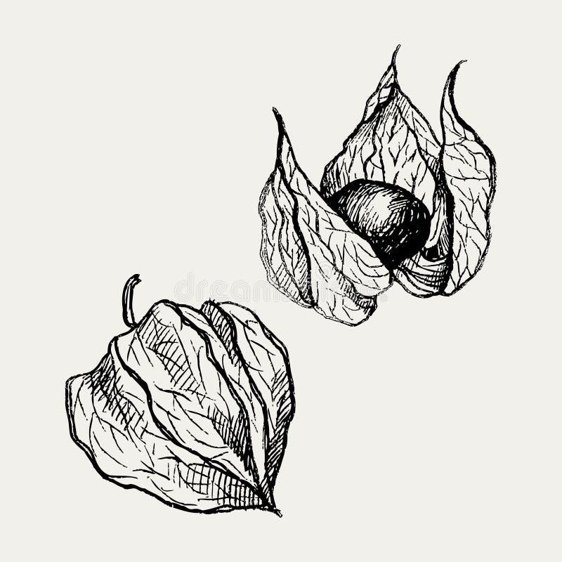 Dessin de vecteur de fruit de Physalis Croquis d'or de baie Illustration gravée par vintage de superfood Icône tirée par la main  illustration stock