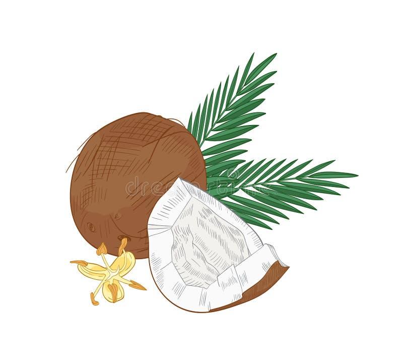 Dessin naturel ?l?gant de la noix de coco criqu?e, des branches de paume et des fleurs de floraison d'isolement sur le fond blanc illustration libre de droits