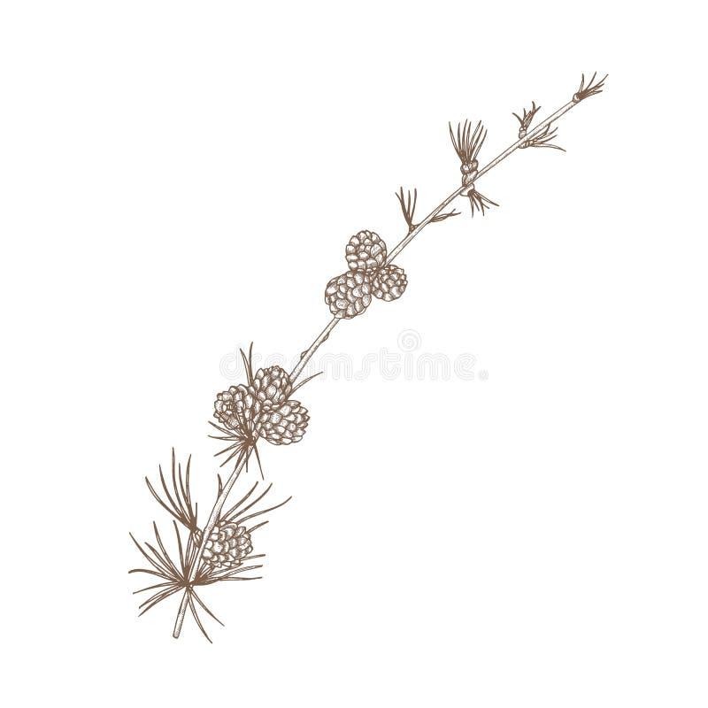 Dessin naturel tiré par la main de branche de mélèze avec le feuillage et les cônes aciculaires r illustration stock