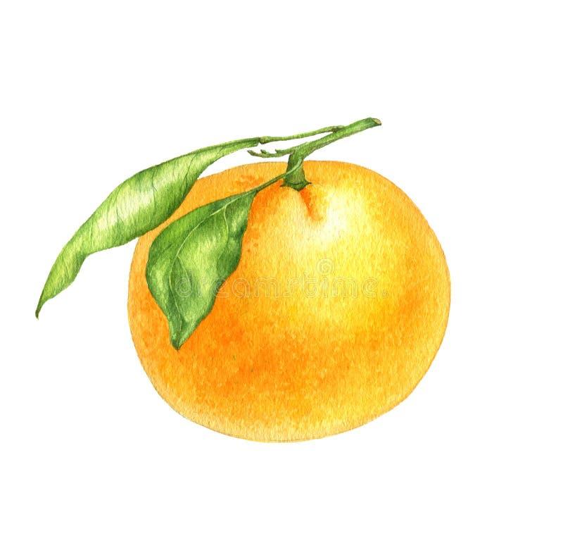 Dessin orange de mandarine dans l'aquarelle illustration libre de droits