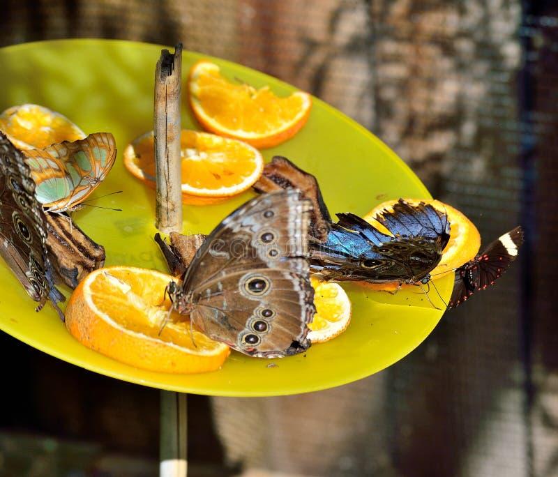 Dessous ventral de malachite ventral, dessous ventral de morpho bleu, bord réuni de droite de papillon de paon images stock
