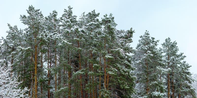 Dessus d'arbre couverts de neige sur un marge de forêt de pin photos stock